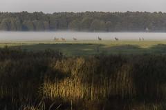 Deer in fog (cinusek) Tags: deer meadow fog trees forest nature milicz poland