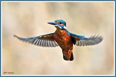 Martin-pêcheur vol 181016-01-P (paul.vetter) Tags: oiseau ornithologie ornithology faune animal bird martinpêcheur alcedoatthis eisvogel kingfisher