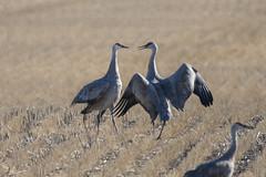 Sandhill crane (Antigone canadensis) (octothorpe enthusiast) Tags: pikelakeprovincialpark saskatchewan antigonecanadensis sandhillcrane