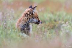 Fox Kit (DanRansley) Tags: britain danransleyphotography danransleynet england gb greatbritain surrey thursleycommon uk unitedkingdom vulpesvulpes animal canine fox mammal nature redfox wildlife