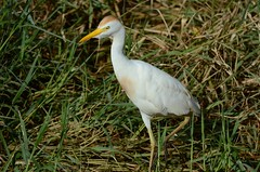 Cattle Egret (Bubulcus ibis) DDZ_7801 (NDomer73) Tags: 27august2018 august 2018 hawaii bird cattleegret egret heron