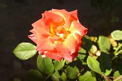 Осенняя роза / Autumn rose (Владимир-61) Tags: осень октябрь природа флора цветы роза листва autumn october nature flora rose foliage sony ilca68 minolta28135