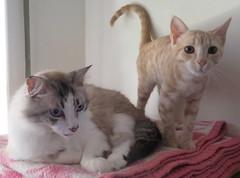 401-July'18 (Silvia Inacio) Tags: mel tabby gata gatos cat cats martini gato kitten