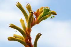 Kangaroo paw (Gillian Everett) Tags: paw kangaroo plant queensland australia yellow 52 weeks 2018 week43