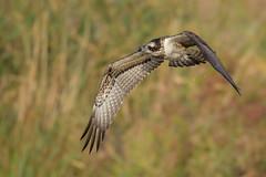 Osprey (Kees499  Nature pics) Tags: bokeh osprey keesmolenaar nature natuur d850 bif holland worldheritagekinderdijk swek alblasserwaard alblasserdam nikon europe migrationbird birdofprey roofvogel pandionhaliaetus