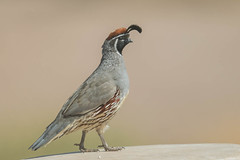 Gambel's Quail (Callipepla gambelii) (byjcb) Tags: quail birds henderson nevada unitedstates us