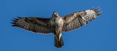 Common Buzzard (Steve D'Cruze) Tags: bird raptor buzzard buteo merseyside nikon d500 sigma 150600mm flight hover soar
