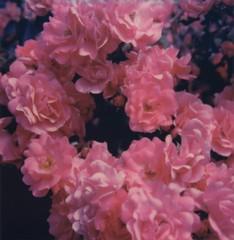 (mari-ann curtis) Tags: sx70 summer film flowers pink petals frills light shadows garden impossibleproject polaroid polaroidoriginals polaroidweek 2018 purple bud nostalgia
