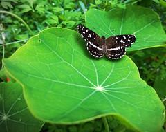 Bataraza en el jardín (agredam) Tags: digital naturaleza nature mariposas butterflies southamerica sudamérica argentina phone cellphone cameraphone huawei matese tacodereina jardín garden urban urbano suburban suburbano lomasdezamora
