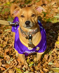 Chucky in his Minnesota Vikings Jersey (rabidscottsman) Tags: scotthendersonphotography dog portrait cute mn minnesota farmingtonminnesota usa unitedstatesofamerica autumn sunday weekend goodboy petphotography nfl football sports americanfoodball minnesotavikings browndog dachshundbasenji nikon nikond7100 d7100 nikkor nikkor70200mmf28vrii pet petportrait