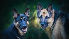 Tess & Laika (Paula Darwinkel) Tags: dog dogs pets germanshepherd shepherd animals portrait bokeh nature puppy