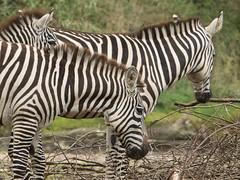 Burgers Zoo - Zebra's (ome.henk) Tags: amsterdamhenkwieland herfst hogeveluwe landal miggelenberg veluwe bomen bos landscape landschap 2018 kootwijk burgers natuur zand dieren