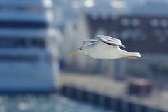 I gabbiani del Mar Baltico (kmclaudio) Tags: pentaxart gabbiano zafferano mare baltico porto navi volo ali becco sole luce controluce allaperto estate