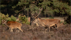 Deer (Gertj123) Tags: mammals mating netherlands nature animals nationalpark macro male female fall