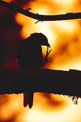 Silhouette of a Common Grakle (Dazarazmataz) Tags: common grakle bird wildlife wild silhouette sunset abstract animal animalplanet algonquin canada ontario d7200 dslr sigma nature naturephotography vacation trip travel