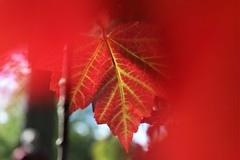 Rouge ... Un apperçu en verve ! (gmayster01 on & off ...) Tags: gmayster01 gmayster redmaple érablerouge mapleleaf automne red rouge canada canadian guymayerphotography quebec nature outdoors mountroyalcemetary trees arbres feuilledérable