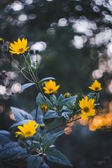 Last drops of light (Soren Wolf) Tags: bloom blooms blossom flower autumn green plant plants swirly bokeh short depth off field dof nikon d7200 helios 44m4 sunset sunlight