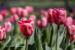 Tulip Top Gardens (Anna Calvert Photography) Tags: bulbs bywong display flowers garden landscape nature outdoors petals plants tuliptop tuliptopgardens blossoms canberra australia tulips pink