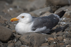 Western Gull 20180829_9345 (GORGEous nature) Tags: clatsopco larusoccidentalis oregon seaside summer vertebrates westerngull bird gull ocean pacificocean scenic water august ©johndavis
