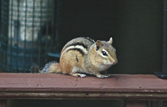 Chipmunk on the Railing (hbickel) Tags: chipmunk railing birdfeeder canont6i canon photoaday pad
