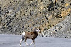 Female bighorn sheep (Ovis canadensis),Muncho Lake Provincial Park in British Columbia, Canada  -  (Selected by GETTY IMAGES) (DESPITE STRAIGHT LINES) Tags: nikon d800 nikond800 nikkor200500mm nikon200500mm nikongp1 paulwilliams despitestraightlines flickr gettyimages getty gettyimagesesp despitestraightlinesatgettyimages nature mothernature landscape sunlight wild wildanimals wildlife hooves bighornsheepoviscanadensis nighornsheep ilobsterit