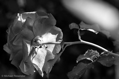 (photo.po) Tags: monochrome canont6 canonphotography canon blackandwhitephotography blackandwhite light availablelight rose