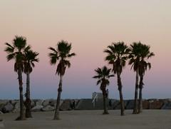 Seven palms (sander_sloots) Tags: palms trees toulon dusk evening france coast beach strand palmbomen avond zonsondergang