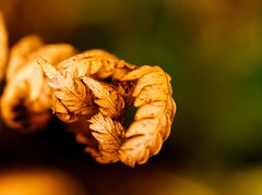 Gnarled (Karen_Chappell) Tags: fern orange brown gold macro dof closeup autumn fall october stjohns canada newfoundland nfld trail canonef100mmf28usmmacro nature leaves leaf green bokeh grandconcourse