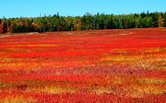Blazing Fields (Icanpaint1) Tags: fall autumn fieryblueberryfields fallcolors maine landscapes nature wjtphotos