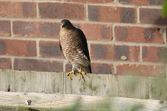 Undercarriage down; ready for take-off (roger_forster) Tags: sparrowhawk accipiternisus raptor urban alverstoke gosport hampshire hiwwt