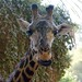 LA Zoo, Giraffe, note blue tongue... DSC_0510
