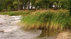 Reeds in the wind (Tim Ravenscroft) Tags: reeds lake wind sundbyholm sweden hasselblad hasselbladx1d