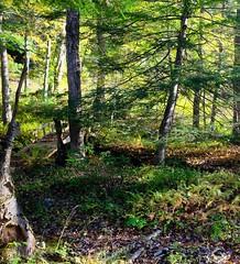 An Autum Morning (Katsumi Shimizu CT USA) Tags: hemlock morning sunshine woods light fern