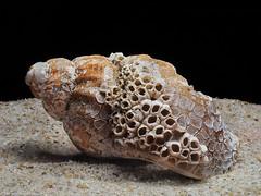 Sylt Erinnerungen - Ungewöhnliche Muschel (J.Weyerhäuser) Tags: makro sand sylt muschel strand stacked