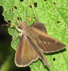 Cymaenes gisca (Birdernaturalist) Tags: bolivia butterfly hesperiidae hesperiinae lepidoptera moncini richhoyer skipper