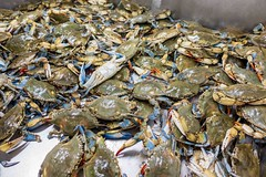 Freshly harvested blue swimmer crabs (Victor Wong (sfe-co2)) Tags: animal aquatic arthropod blue blueswimmercrab carapace claw close closeup color crab craw crustacean decapod delicacy delicious edible flowercrab food fresh gourmet healthy ingredient invertebrate live manna marine market meal meat nutrition pattern pelagicus pincers protein raw red restaurant sandcrab seafood shell shellfish shot soft style swimmer white