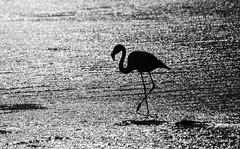 Flamingo - Atacama (59) (Malcolm Bull) Tags: include chile atacama san pedro de 20181004atacama0059edited1web salt lake flamingo