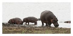 2018 02 03_Hippos-1 (Jonnersace) Tags: hippo hippopotamus waterhorse hippopotamusamphibius seekoei mammal water wildwingssafaris wild nature wildlife animals canon canon7dii canon100400ii