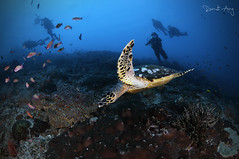 H A W K S B I L L (Randi Ang) Tags: hawksbillseaturtle hawksbillturtle hawksbill sea turtle eretmochelysimbricata nusa penida nusapenida bali indonesia underwater scuba diving dive photography wide angle randi ang canon eos 6d fisheye 15mm randiang wideangle