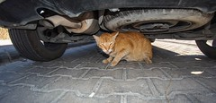 Turkish cat. (CWhatPhotos) Tags: cwhatphotos cat pussycat feline ginger animal turkish turkey marmaris pussy under undercar car road