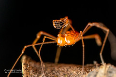 Harvestman (Opiliones) - DSC_3242 (nickybay) Tags: singapore lowerpeircereservoir macro harvestman opiliones backlighting