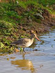 Black tailed Godwit, the Exe Estuary (mpb_17) Tags: