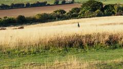 Early Run at Newlands Corner-E9290176 (tony.rummery) Tags: autumn em10 earlymorning fields guildford landscape mft meadows microfourthirds newlandscorner omd olympus runner surreyhills england unitedkingdom gb