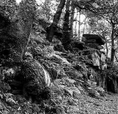 diverted trunk (westoncfoto) Tags: bolehillquarry longshaw surprise padley woodland millstone quarry nt