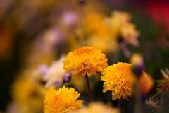 Creative (Rajavelu1) Tags: chennai macrophotography flowers colours art creative dslr handheld availablelight artdigital