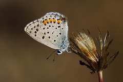 Pseudophilotes baton (JoseDelgar) Tags: insecto mariposa pseudophilotesbaton 425229338673600 josedelgar naturethroughthelens coth coth5