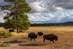 2018-09-trip-3-yellowstone-4-wildlife-mjl-15 (Mike Legeros) Tags: wyoming yellowstone nationalpark bison bisonjam buffaloroam