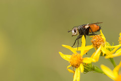 1N6A9926 ( UNIXetvous ) Tags: insect mouche fly fleur flower