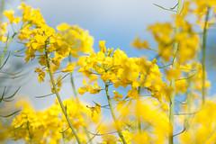 _DSC0988 (gael.lebrun56) Tags: fleur colza rape beez flower macro insect