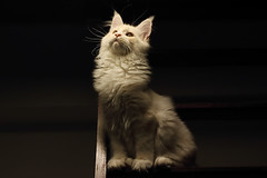 Ogwart - 5 months (nicolamer) Tags: canon 80d 50mm cat chat gato kitty maine coon animal light